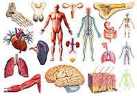 Ivan Stalio | Science | Anatomy | Medical | Human Anatomy 2 | Anatomia Umana 2
