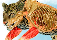 Ivan Stalio | Science | Anatomy | Medical | Leopard Anatomy | Anatomia Leopardo
