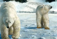 Ivan Stalio | Nature | Polar Bears | Orsi Polari