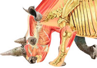 Ivan Stalio | Science | Anatomy | Medical | Rhinoceros Anatomy | Anatomia Rinoceronte